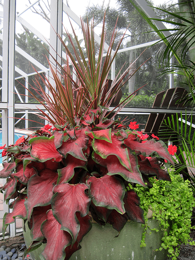 wide red leaves and greens in a planter
